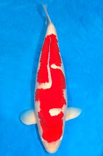 5. Ikan Koi Jenis Inazuma Kohaku