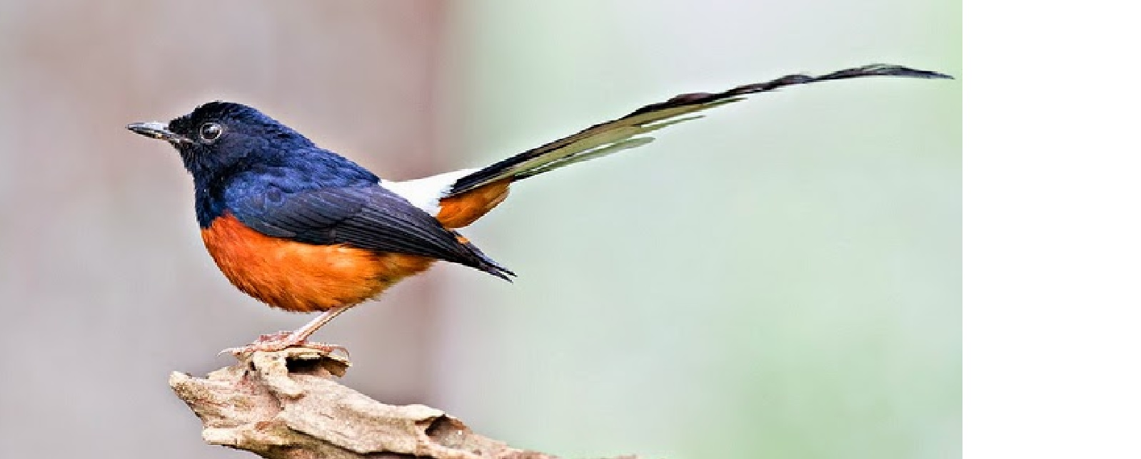 Harga Burung Murai Batu Medan 2020