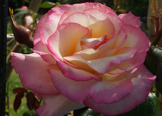 pink rose - www.growourown.blogspot.com