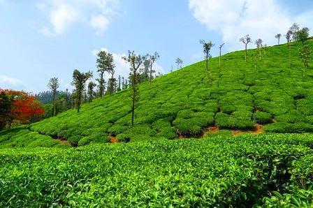 Assam tea garden photo hd