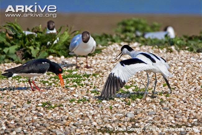 interactions between Charadriiformes pied avocet