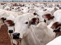 bovinos-vacinacao-vetarq