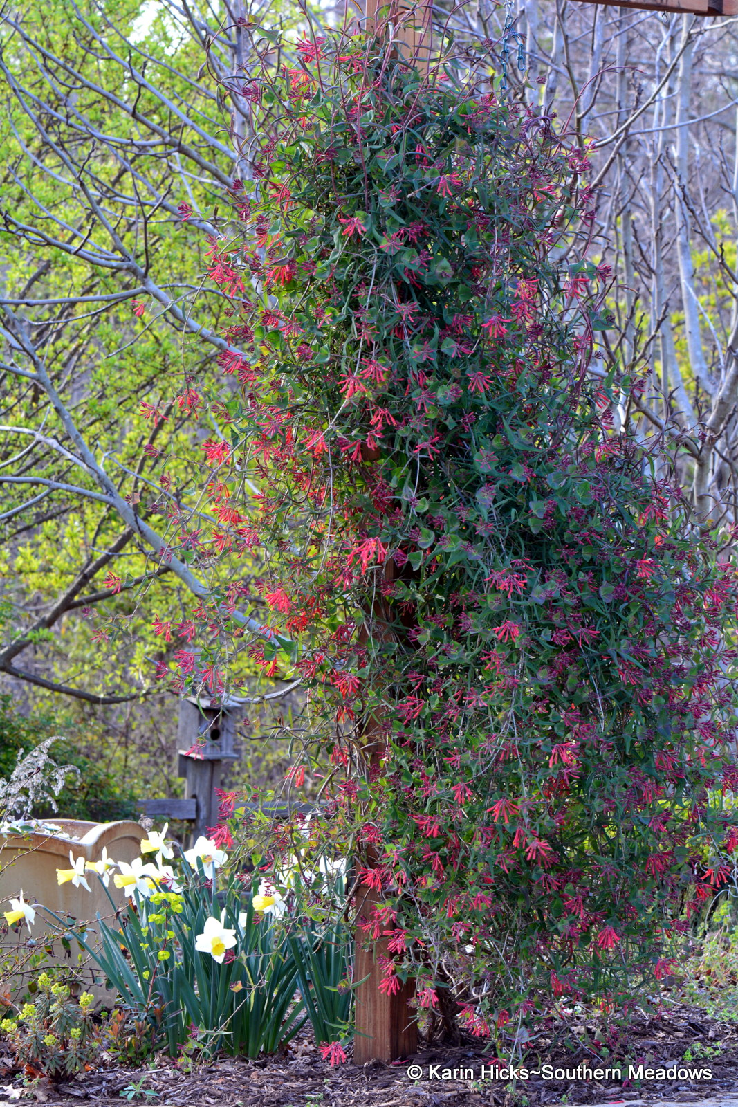 Southern meadows planting an early spring garden to attract ruby columbine aquilegia canadensis are dangling their dainty flowers in anticipation of their favorite pollinators arrival the blooms with their backwards mightylinksfo