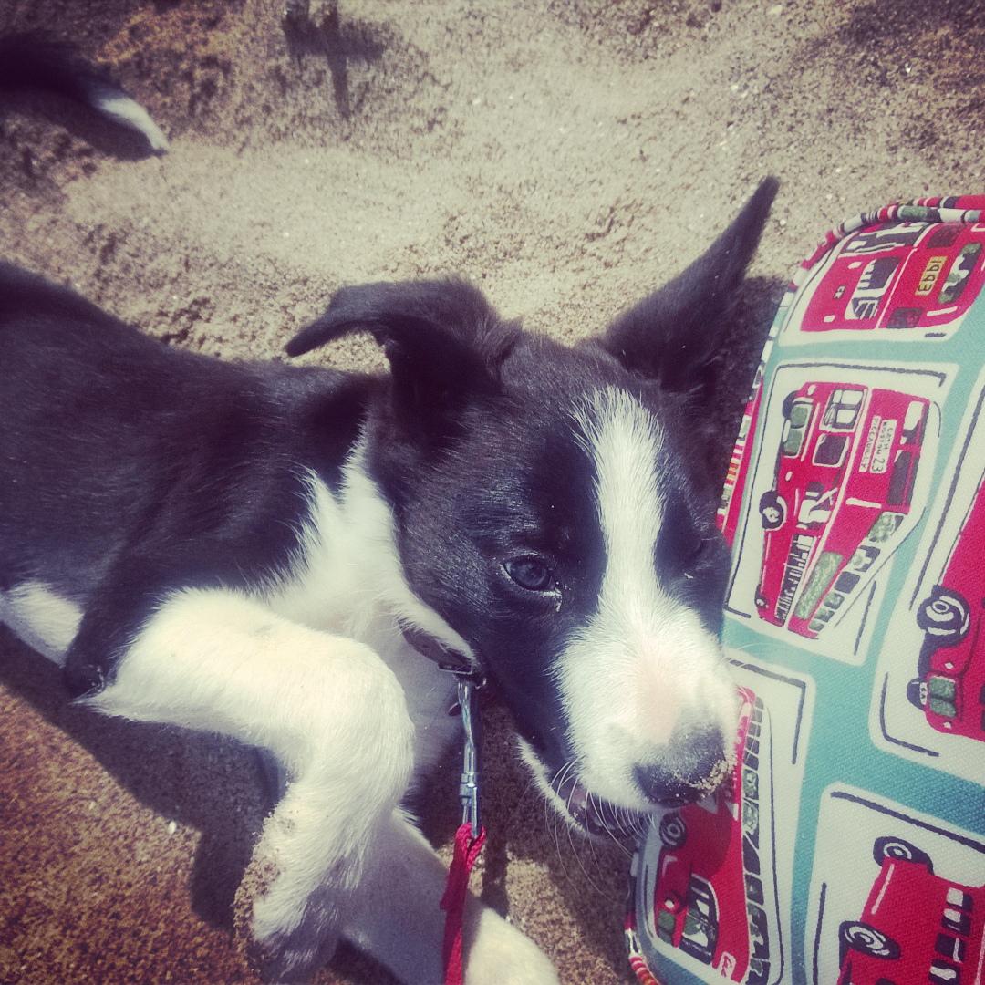 Mollie The Collie On The Beach: How Adorable?