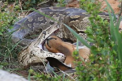 Induk Impala Ini Pasrah Lihat Anaknya di Telan Piton Besar