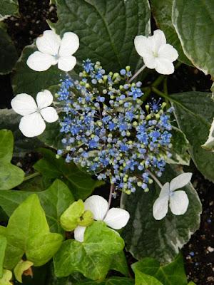 Centennial Park Conservatory 2018 Easter Flower Show Florist Hydrangea blue lacecap by garden muses-not another Toronto gardening blog