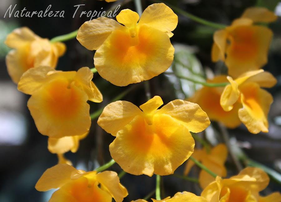 Flores típicas de la orquídea Dendrobium lindleyi