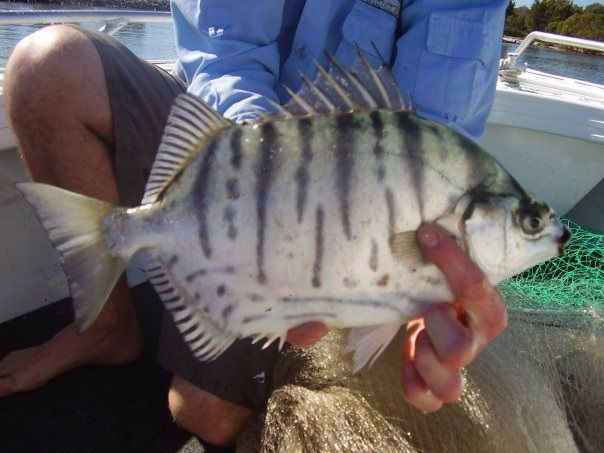 Gambar Sirip Beracun Ikan Silver Scat