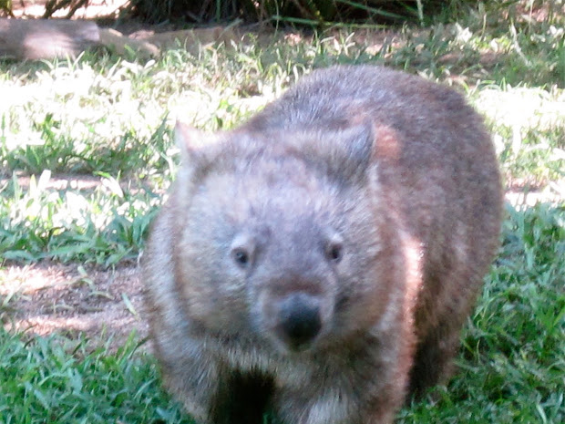 ' Draw Endangered Species Hairy-nosed Wombat