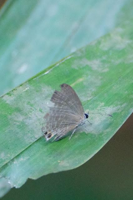 Dark Caerulean (Jamides bochus nabonassar)