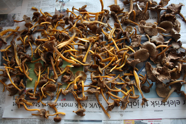 Drying chanterelles on a newspaper