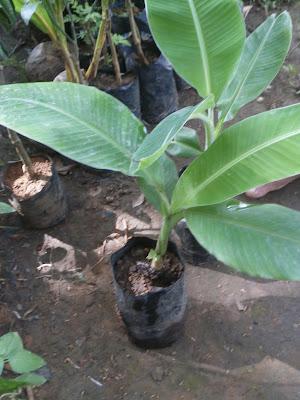 pisang kepok unggul | budidaya pisang kepok | manfaat pisang kepok | menanam pisang kepok | cara memelihara pisang kepok | ciri-ciri pisang kepok