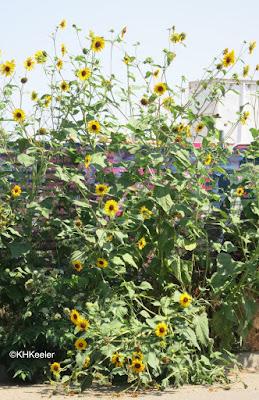 wild common sunflowers, Helianthus annuus