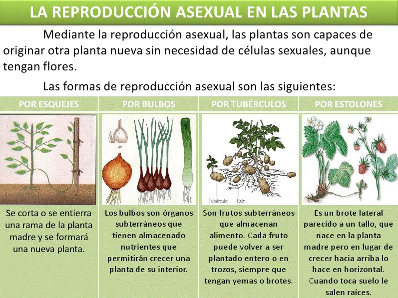 Sistema reproductor de las plantas asexual