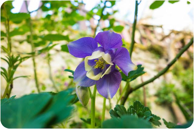 Ancolie violette