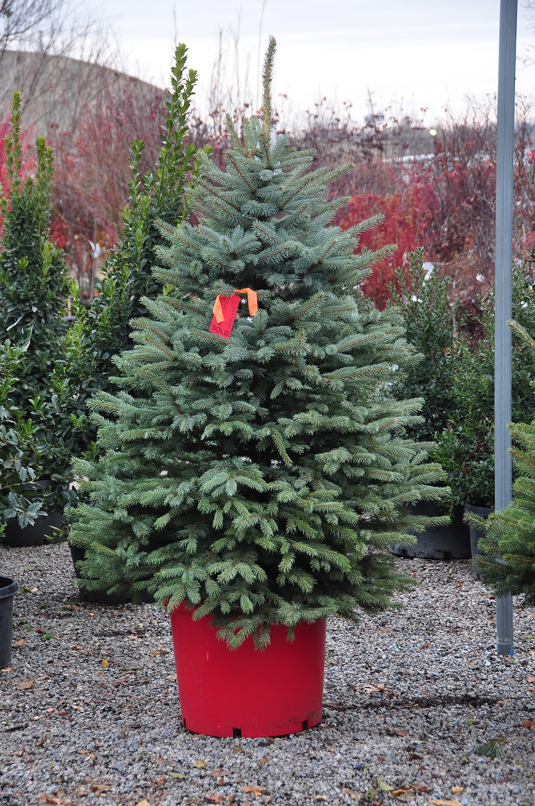 ask a master gardener selecting and caring for a christmas tree. Black Bedroom Furniture Sets. Home Design Ideas