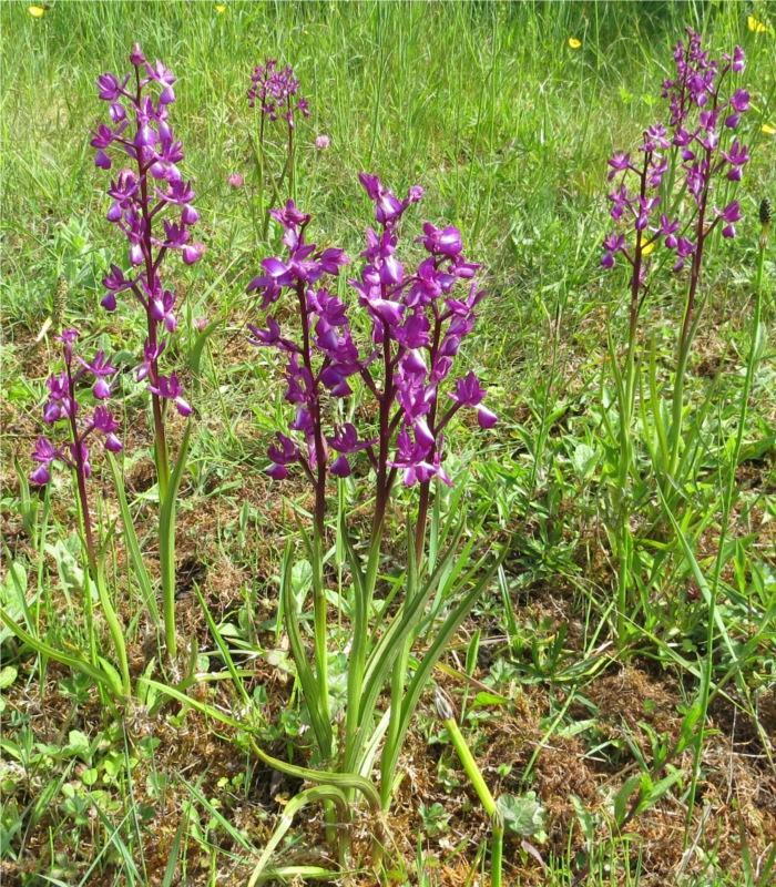 orchidée à fleurs lâches