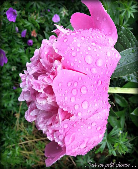 La beauté des gouttelettes de pluie (pivoine)
