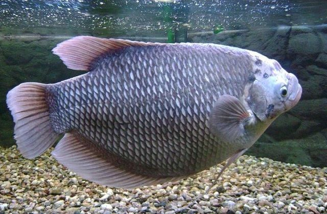 Gambar dan Foto Ikan Gurame