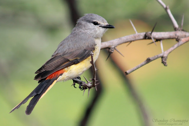 Small Minivet Female