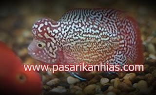 Type Ikan Hias Louhan indonesia Kamfa