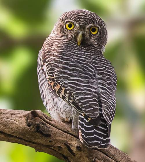 Indian birds - Image of Jungle owlet - Glaucidium radiatum