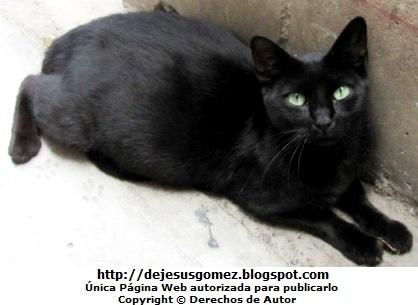 Foto de una gata descansando de barriga. Foto de gato hembra de Jesus Gómez