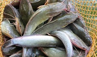 Cara Cepat Mancing Ikan Lele Yang Susah Makan Dan Umpannya Mancing Ikan Terbesar