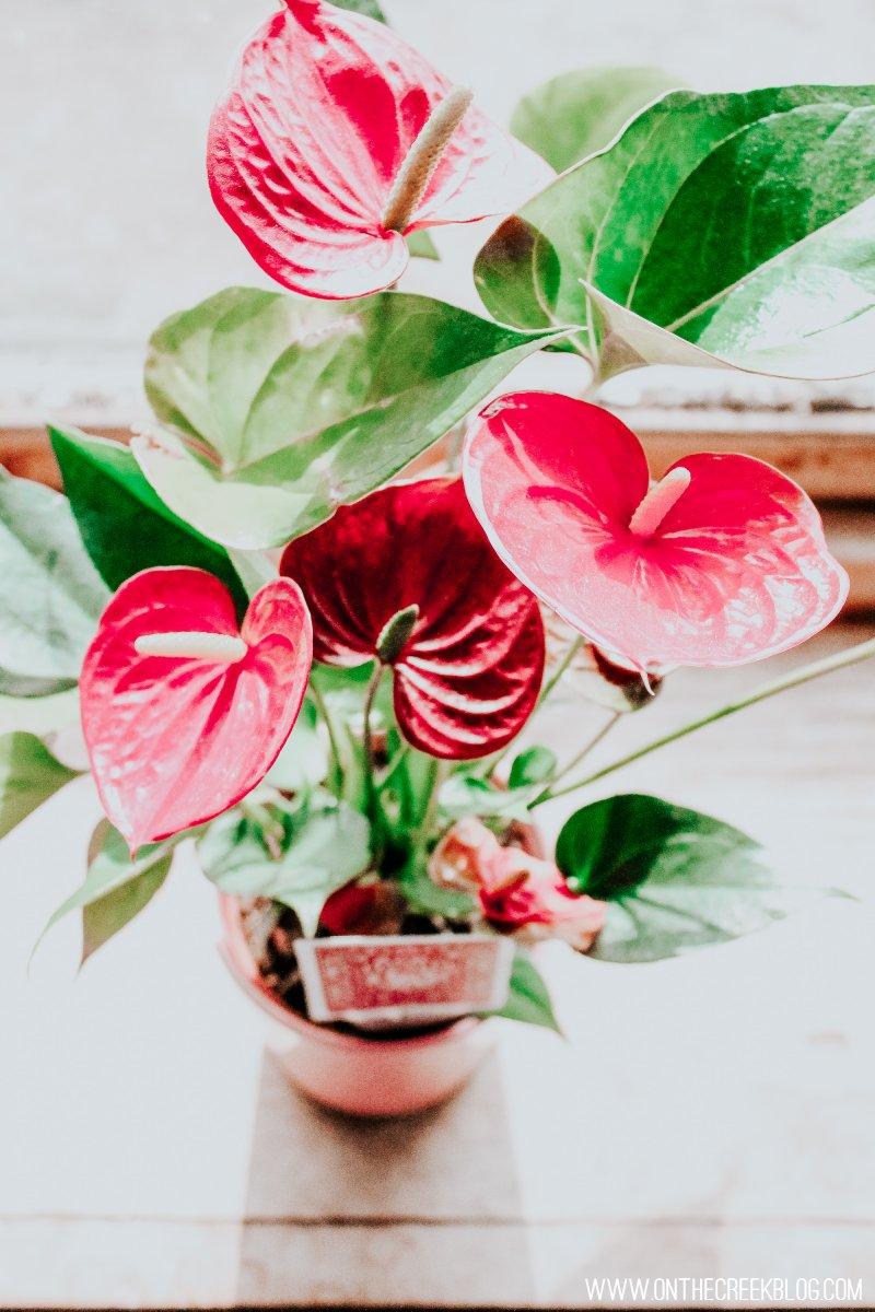Ace of Hearts Anthurium | pics & plant care!