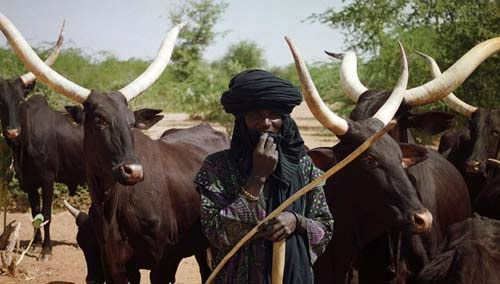 Illegal grazing: 9 Fulani herdsmen, 25 cows, 51 sheep arrested in Abuja