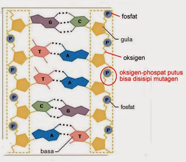 mutasi akibat terputusnya oksigen-fosfat
