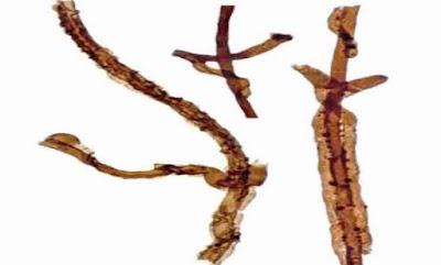 أقدم حفرية لكائن حي معروف على وجه الأرض