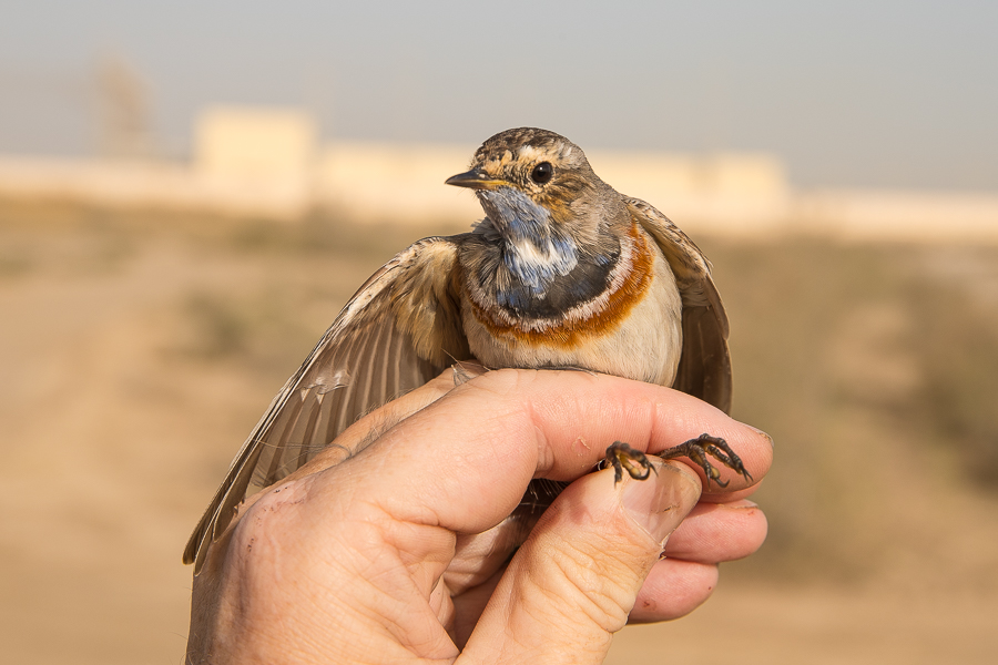 White Spotted Bluethroat
