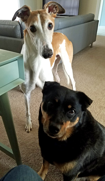 image of Zelda the Black and Tan Mutt sitting next to my desk and Dudley the Greyhound standing just behind her, both of them looking at me plaintively