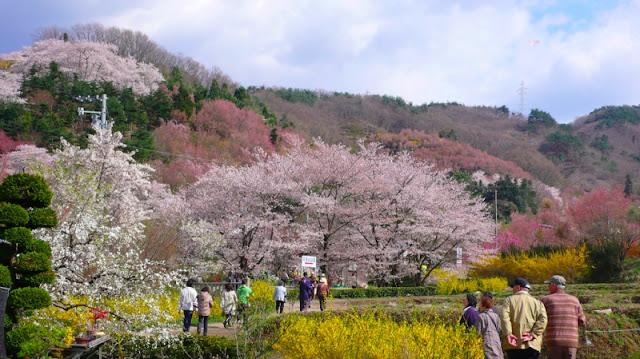 Cherry Blossom in Fukushima