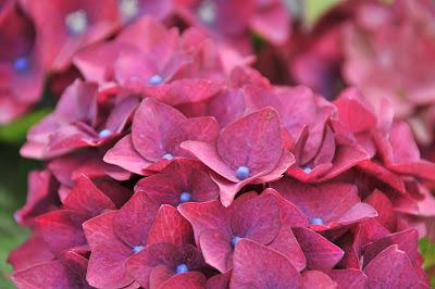 Pink Hydrangea Sun Valley Group