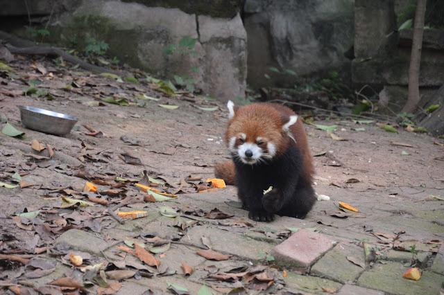 Centre de recherche des pandas à Chengdu