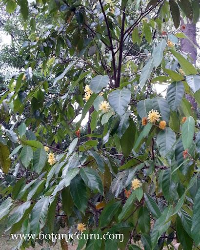 Maingaya malayana blooming