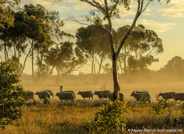 Sheep farm near near Grampians National Park at sunset