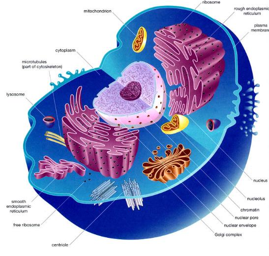 Struktur Sel Hewan Dan Sel Tumbuhan Gambar Beserta Keterangan Bagian Sel Organel Dan Fungsinya Sekolah Matematika Sains Sms