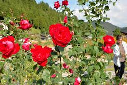 秋のバラ見頃 香愛ローズガーデン
