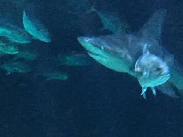 Sharks swimming at Point Defiance Zoo