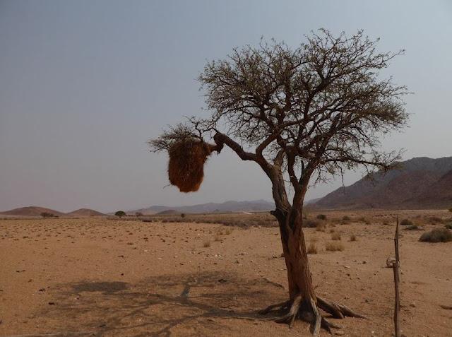 albero col nido lungo la D707 in namibia