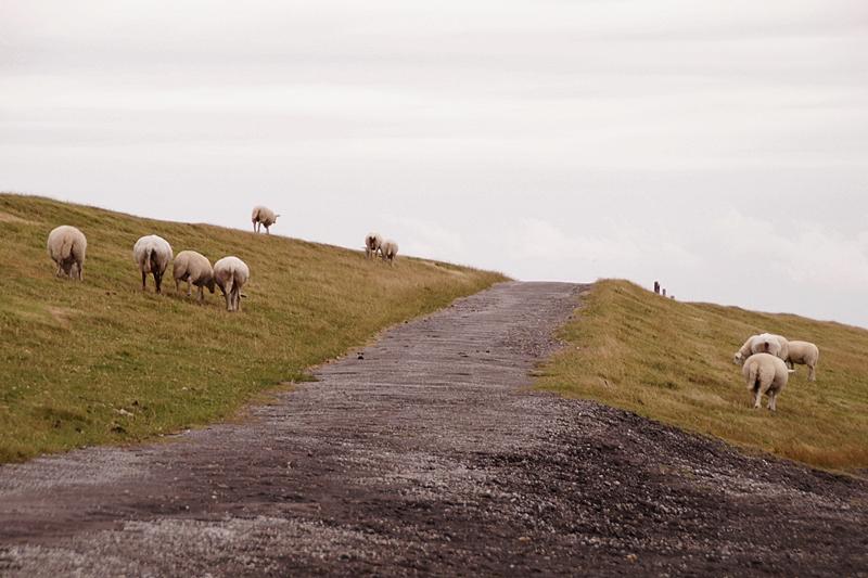 Deich Föhr Schafe