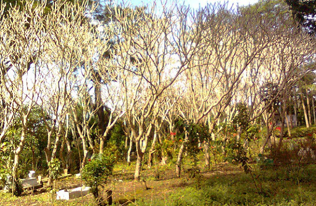http://3.bp.blogspot.com/-iFCpJIFnNLk/VqDMfKENAhI/AAAAAAAAQYQ/EvCz5FTxLzs/s640/pohon-kuburan.jpg