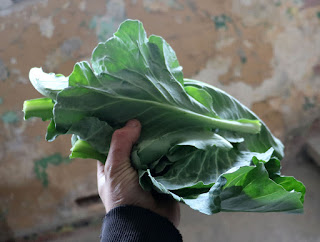 A handful of cabbage leaves for dinner