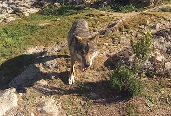 lobo-cañada-real