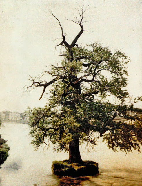 Ancient plane tree on the edge of Vardar, the river that crosses Skopje and divides it into two parts. The plane tree is near the Stone Bridge. - Skopje in 1913