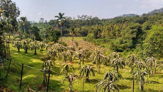 Kebun durian agro wisata Warso Farm
