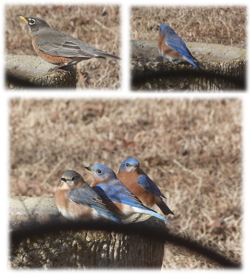 CHMusings bluebirds and robins